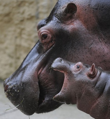 hippoooo
